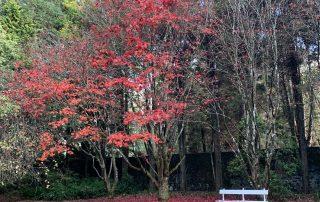 Japanese Maple - Compass Garden