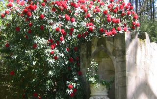 Rhododendron over Gothic Wall
