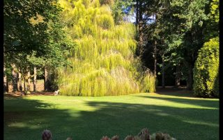 Weeping Chinese Cypress
