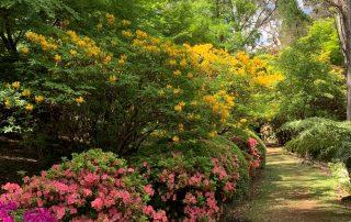 Yellow Mollis Azaleas on Charlotte's Pass